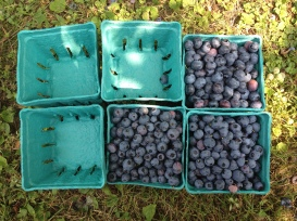 I picked 6 lbs of blueberries (about 6 mounded pints). $2.75/lb so the total price was $16.50
